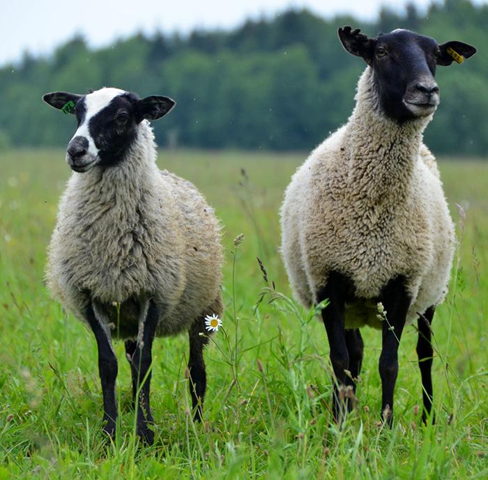 В чём разница между бараном и овцой: основные различия, как отличить барана от овцы
